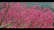 电视诗歌散文《樱花魂》作者:胡庆璇