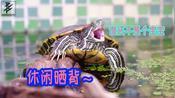 「乌龟日记」巴西龟晒晒背打打哈欠,假期休闲一下|舒坦的巴西龟