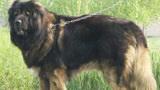 大型猛犬的激烈厮杀,俄罗斯猛兽高加索犬血战彪悍卡斯罗