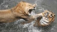动物世界两大顶级猛兽狮子与老虎之间决斗的精彩画面