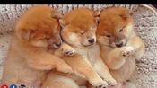 【柴犬Shiro Suki】看看谁在睡觉的时候捣乱?