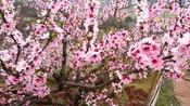 相约在车江 又见桃花开:童丽《三月桃花雨》