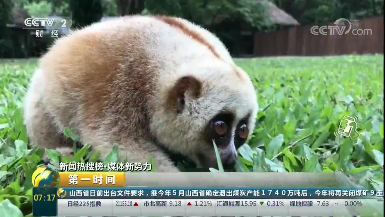 【第一时间】国宝夜里偷吃芭蕉 蜂猴险被当成老鼠打~