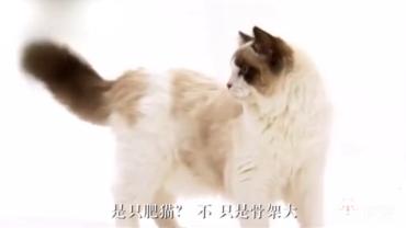 布偶猫不是胖而是个子大