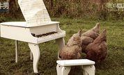 洒把米在琴键上 国外网友大秀「人鸡二重奏」神技巧