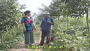 民间小调:男子发现美女正在地里偷吃西瓜
