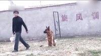 战神威森 训练成果 纯种德国牧羊犬