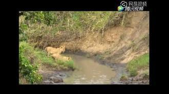 两只小狮子过小溪,太萌了