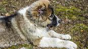一只大高加索犬干掉狼的视频
