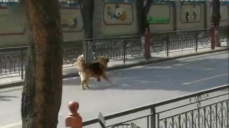 实拍宠物狗被高加索犬当街撕咬 女主人边哭边抢夺