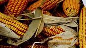 科研玉米被偷摘 或将损失达上千万-看了吗第一眼-看了吗视频