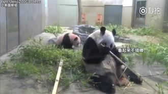熊猫妈妈吃竹子的时候突然想起自己还有个娃,原来还在啊