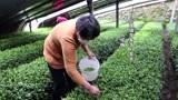 受疫情影响,日照四十亩早春茶滞销