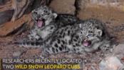 罕见!濒临灭绝的野生雪豹宝宝