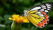 美丽的蝴蝶和花朵摄影图片欣赏