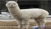 羊驼证婚 日本羊驼证婚服务新奇结婚仪式出炉揭秘