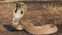 动物世界: 世界上最毒的蛇视频合集