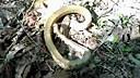 东南山网(www.dongnanshan.com)你见过装死的蛇吗?活灵活现