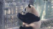 大熊猫胖大海 等奶爸送笋笋的胖大海20191205