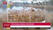 [北京您早]芦苇残荷相映 圆明园初冬现别样美景