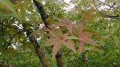 秋风起了,枫叶要红了,唱一首《最后的枫叶》醉了思念,诉尽离伤