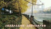 去武侯区途经锦河上南河桥旁边银杏林,成都冬季银杏树特别醒眼