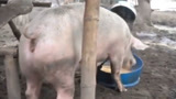 菲律宾火山喷发 村民越过封锁线溜回家:放不下养的猪
