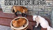 【赤狐】狐狸和猫塑料兄弟翻脸现场!不能愉快的做好基友了,完败的橘猫躲到了我身后请求支援……【宠物狐狸】【橘猫】【狐狸】