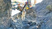 全网唯一冈仁波齐转山的狗子,瘦猴和锄头的旅行,一直在路上