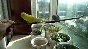 与虎皮鹦鹉互动小工具,随便一根小木棍,两个小鹦鹉就围着转了