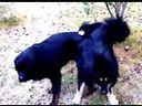 藏獒嬉戏 中国藏獒网就是www.315hn.com