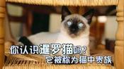 萌宠一家亲:你认识暹罗猫吗?它被称为猫咪中的贵族猫!