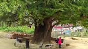 平顶山市叶县二千多年的白果树