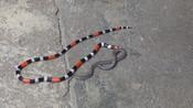 两头蛇挑逗珊瑚蛇,不料惨遭珊瑚蛇反杀吞食 !