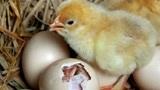 先有鸡还是现有蛋?6.1亿年前化石给出答案