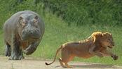 河马朝天一声吼,狮子也得掉头走,网友:何为霸气,力大出奇迹!