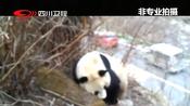 四姑娘山景区成功救助一只野生大熊猫