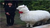 """羊驼证婚 日本酒店推出新婚礼项目羊驼充当""""证婚人"""""""