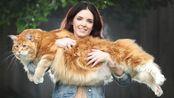 它是世界上最长的猫,偏偏还是个话痨,缅因猫体型大到胖橘都怕