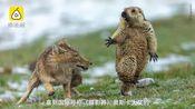 """秃鹫金雕与赤狐抢夺岩羊 """"弱肉强食""""罕见打斗现场曝光"""