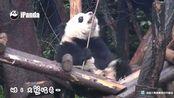 奇一:本来想带着我的树箍棒,爆走江湖,行侠仗义的,结果棒棒说,他只想做个普通的树枝 cr.ipanda熊猫频道