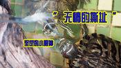 逮虾户!野兽般的巴西龟吃虾,撕就对了!