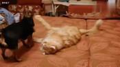缅因猫对战小狗子就这么个小狗子缅因猫连帮手都不需要叫
