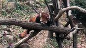 东京多摩动物园的小熊猫