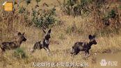 真实拍摄:荒原里两只狩猎犬被一只小鸟吓得一动不敢动