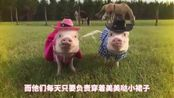 网红猪的美好生活:当伴娘当模特!简直是猪生赢家啊!-国语流畅