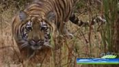 真是动物世界罕见一幕:动物之王捕猎全过程