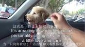 国外公益组织Hope For Paws救助了一只浑身打结的贵宾犬