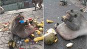 世界上最胖的动物,一看吓一跳,它们肥胖程度不输人类!