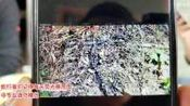 蛇类科普蛇哥直播录像2019-11-12 11时57分--14时17分 挖山药抓老表家的鸡